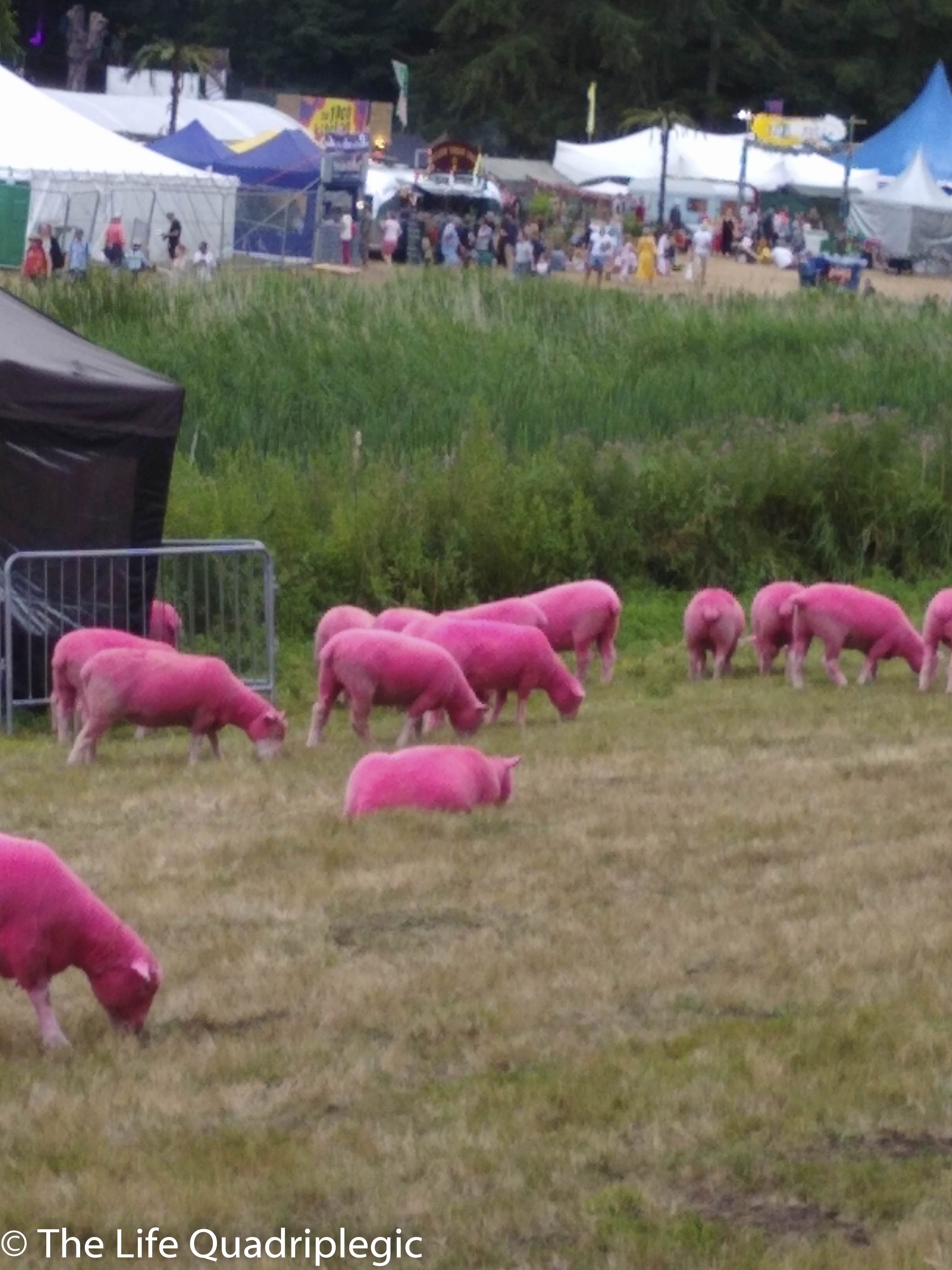 Pink sheep are eating grass in the foreground, with a number of tents in the background