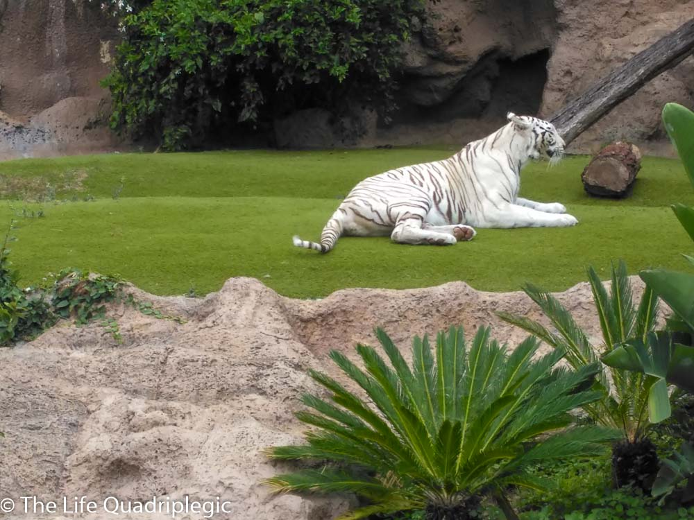 A white tiger lays on the grass
